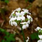 Immagine Cardamine trifolia